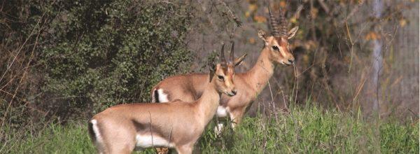 ניהול חיות בר גדולות תוך טיפוח קיימות עירונית – המקרה של פארק עמק הצבאים