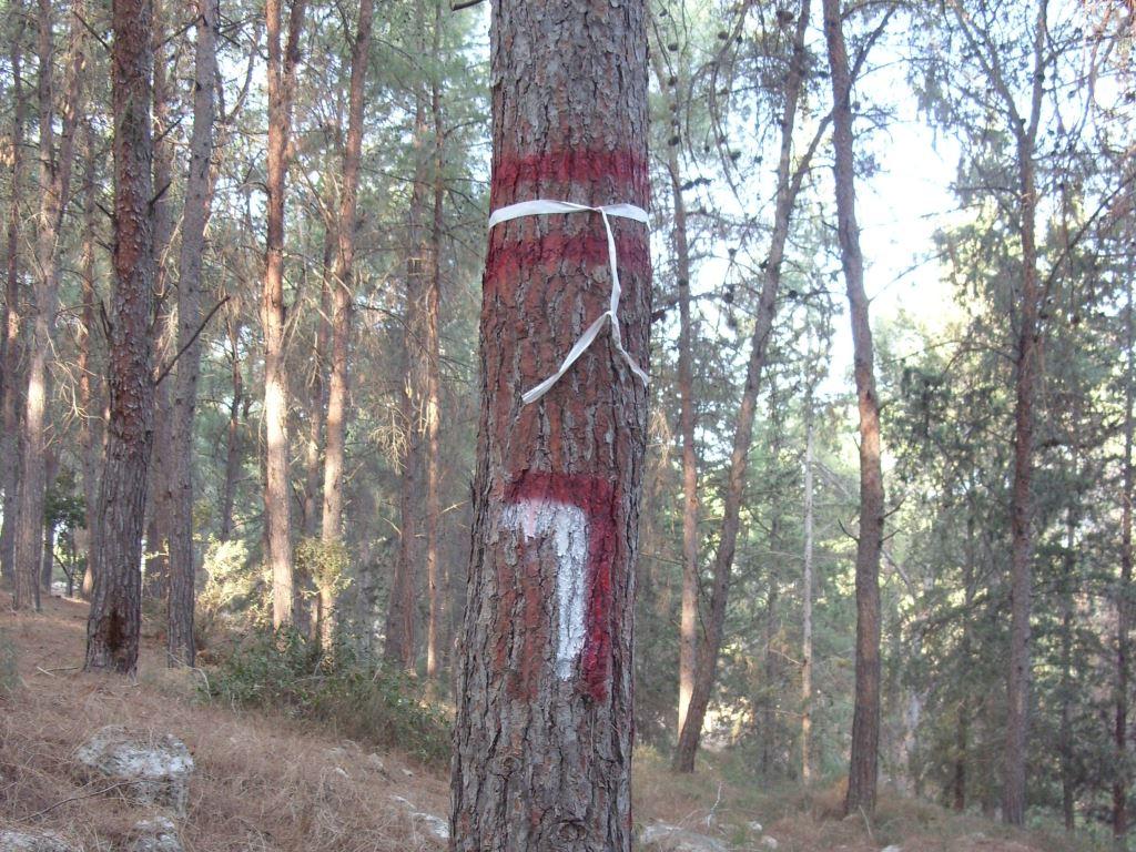 הקמת מערך ניטור ארוך טווח ביערות אורן בוגרים