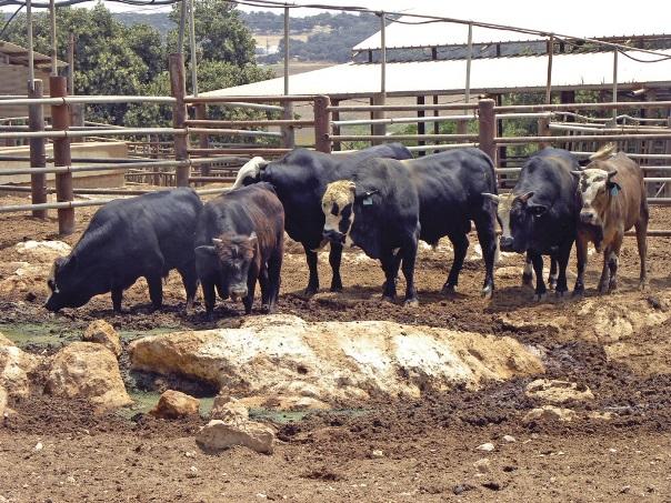 חשיבות השימור של בקר מקומי מגזע בלדי לנוכח השיח הציבורי על צריכת בשר בקר