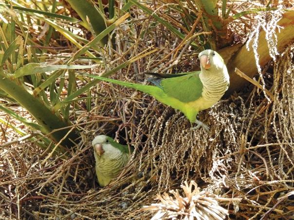 עיקור ביצים בקן – שיטה חדשה לצמצום אוכלוסיות מיני ציפורים מזיקות