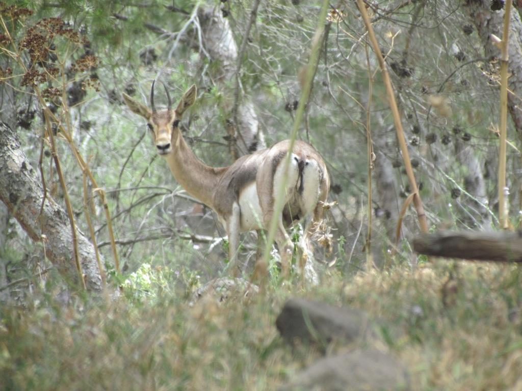"""ניהול יערות קק""""ל ותפקודם כעוגנים טבעיים ברצף השטחים הפתוחים והמסדרונות האקולוגיים"""