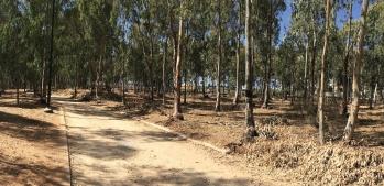 מיער שניטע לשם אספקת עץ לאתר טבע עירוני – תובנות מניהול יערני של חורשת הסרג'נטים