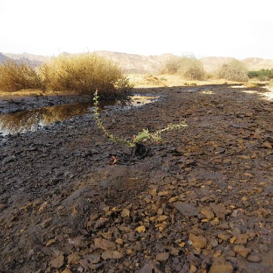 השיטה הננסית – חשש לפגיעה ביכולת הגדילה של עצי שיטה בקרקעות המזוהמות בנפט בשמורת עברונה
