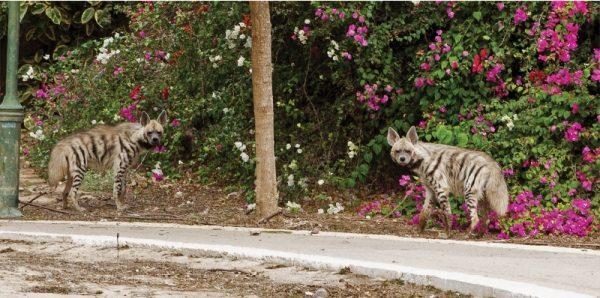 התמודדות עם חיות בר בסביבה העירונית