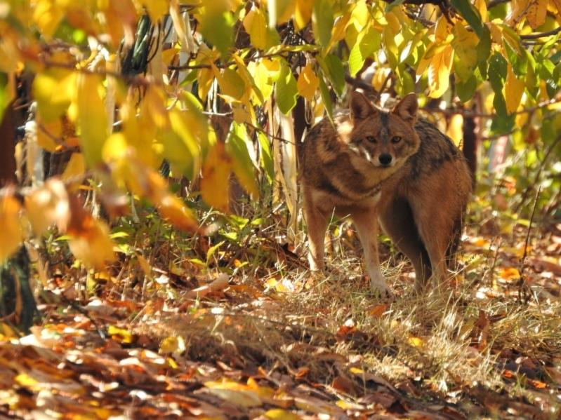 מה בין פסולת אורגנית למגפת כלבת? הפחתת פסולת אורגנית בשטחים חקלאיים כאמצעי להתמודד עם אוכלוסיות יתר של תנים – חקר המקרה של עמק חרוד ועמק המעיינות