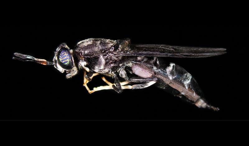 המרת פסולת למזון איכותי לבעלי חיים בעזרת זבוב החייל השחור
