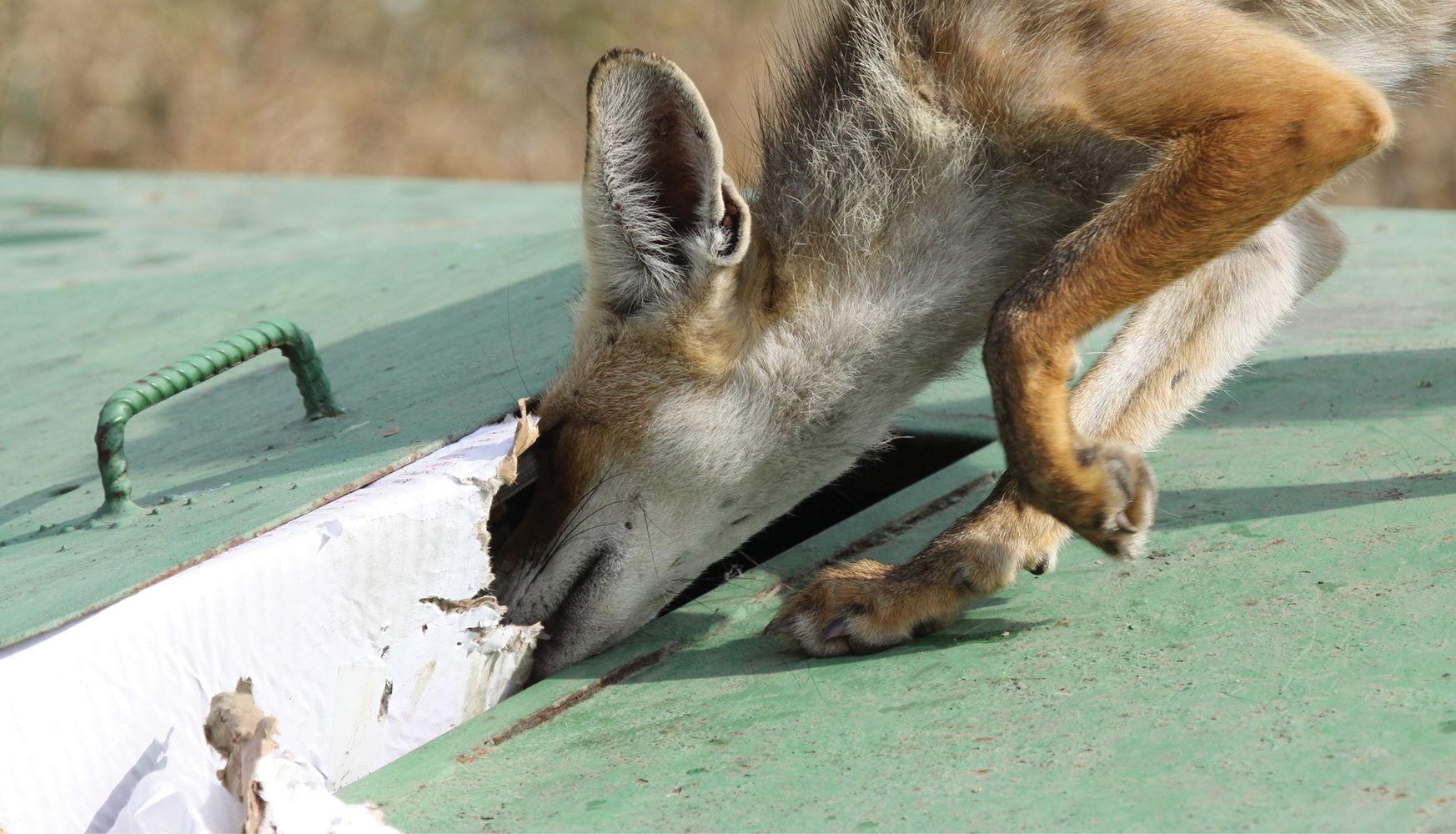 השפעת פסולת שמשאירים מטיילים על חיות הבר בפארק הכרמל
