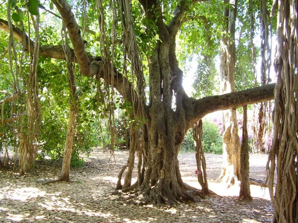 עצי מורשת בישראל – מסקנות מ-30 שנות מעקב אחר עצים בוגרים בישראל