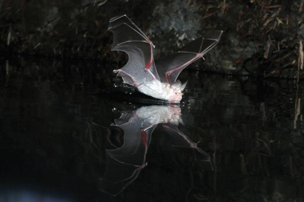 השפעת תאורה מלאכותית על דפוסי השתייה של עטלפי מדבר