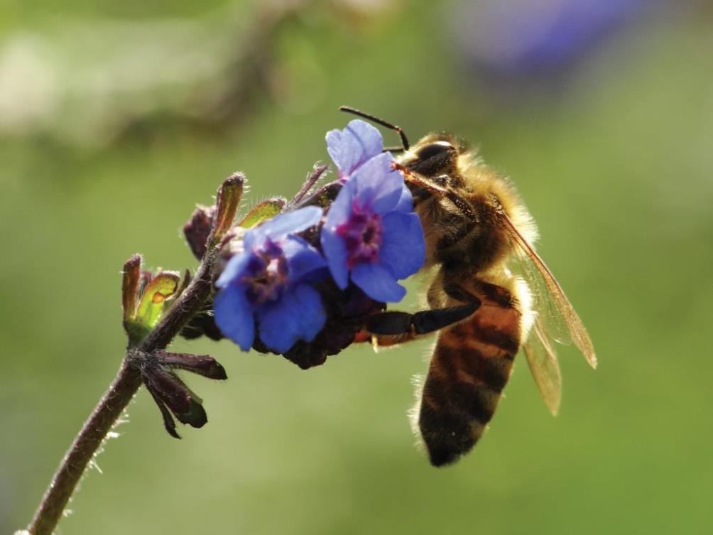 זליגת חומרי הדברה משדות חקלאיים לסביבה הטבעית והשפעתה על דבורי דבש