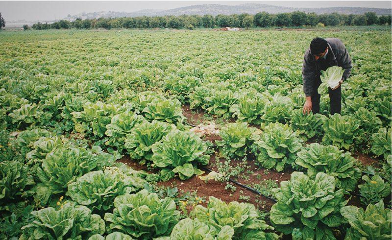 האם צריכה של תוצרת חקלאית מושקית בקולחים חושפת את האוכלוסייה בישראל לתרופות ולכימיקלים שונים?