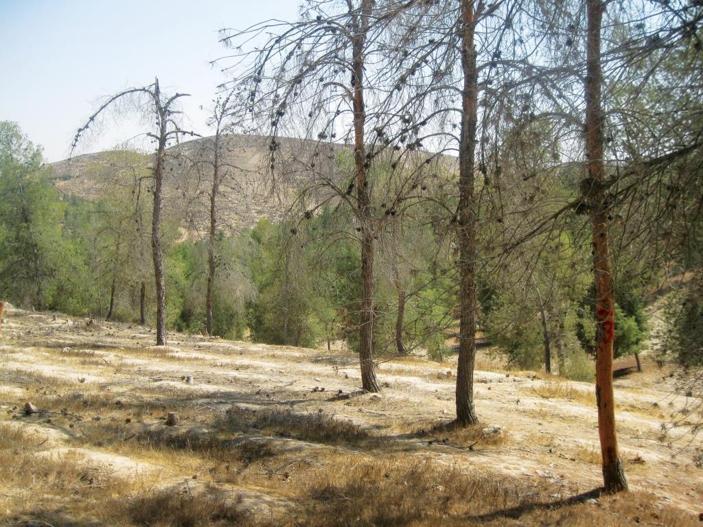 שרידות יער אורנים על גבול המדבר בעקבות שנות בצורת קיצונית