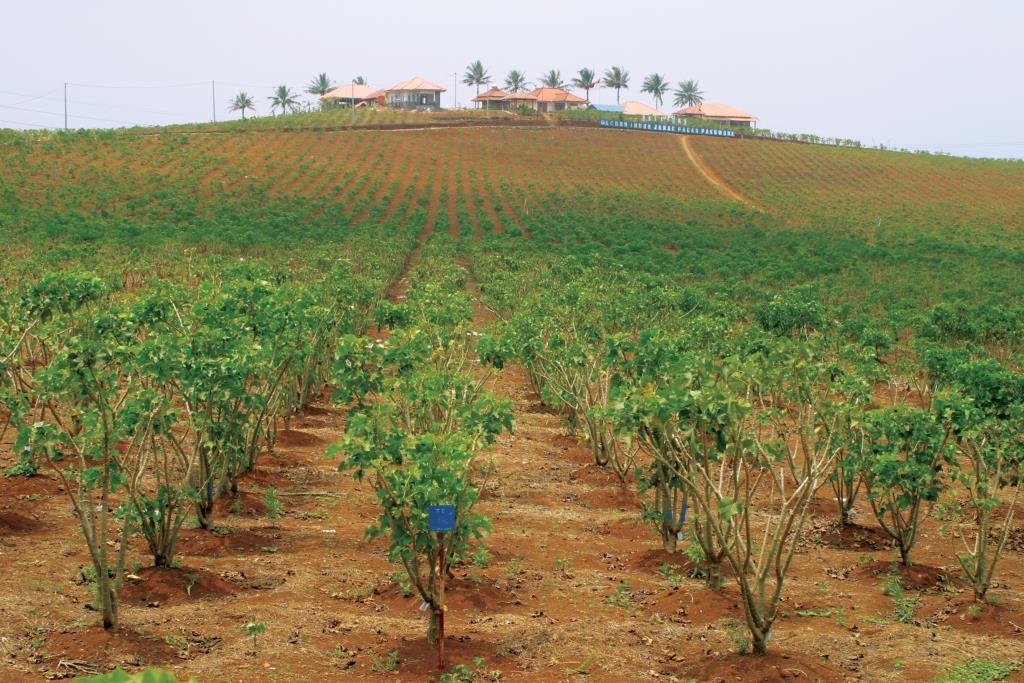 גידולים חקלאיים כמקור בר-קיימא לדלקים ביולוגיים באזורים יובשניים – חדשנות ישראלית