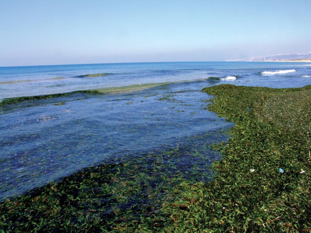 היבטים שונים בהפקת ביו-אתנול ממָקרו-אצות בישראל