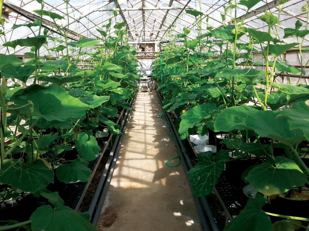 מניעת חדירה של קרבמזפין (חומר רפואי) לשרשרת המזון על-ידי שימוש בזני דלעת המשמשים ככנות בצמחים מורכבים