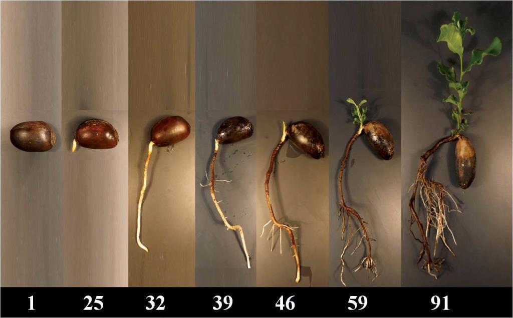 שיטות פיזיולוגיות לקביעת עמידות של עצי אלון התבור וצאצאיהם ליובש