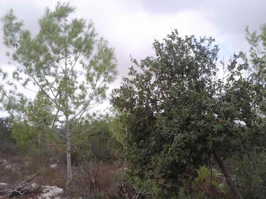 יעילות ניצול מים בעצי יער: עדיפות לאורן ירושלים על פני אלון מצוי