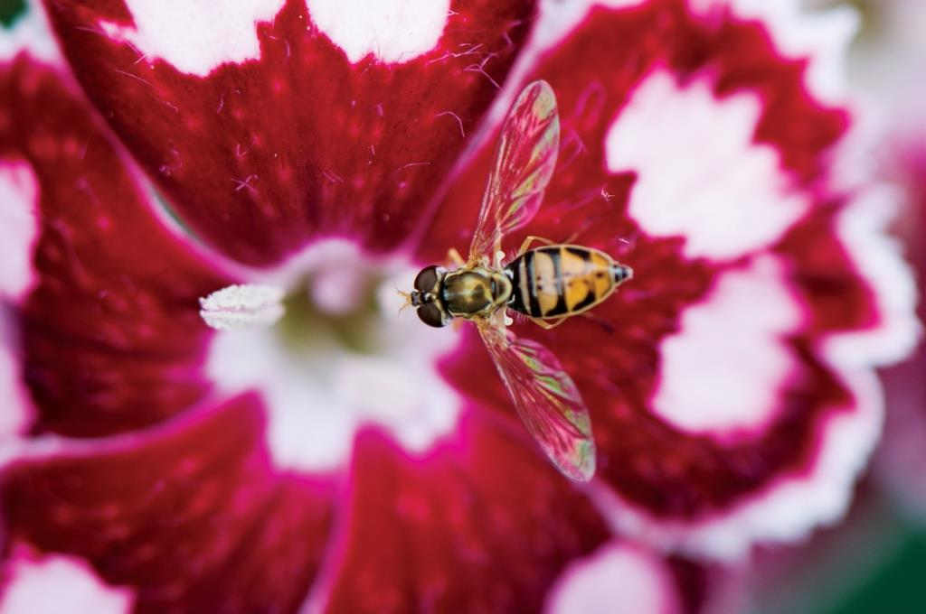 הכחדה של מיני דבורים וצרעות מאביקות